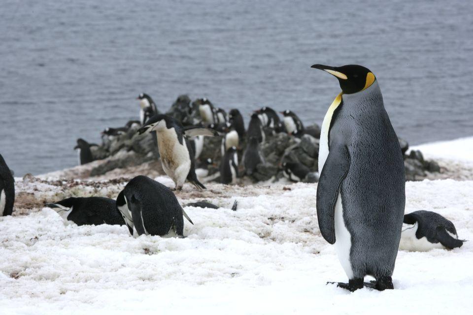 Nice Images Collection: Emperor Penguin Desktop Wallpapers