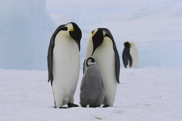 High Resolution Wallpaper | Emperor Penguin 640x427 px