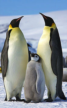 HD Quality Wallpaper | Collection: Animal, 220x353 Emperor Penguin