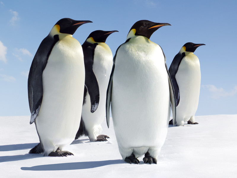 HQ Penguin Wallpapers | File 79.18Kb