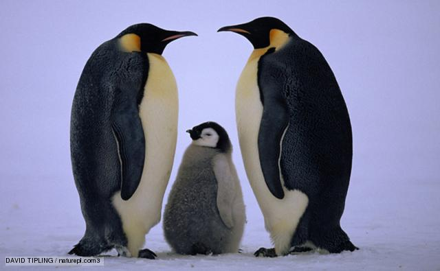 Images of Emperor Penguin | 640x395