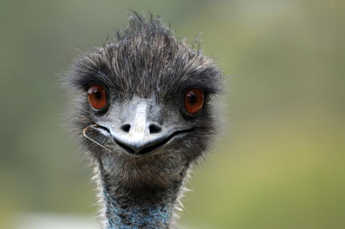 Emu Backgrounds on Wallpapers Vista