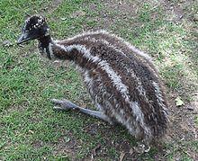 Emu Backgrounds, Compatible - PC, Mobile, Gadgets| 220x179 px