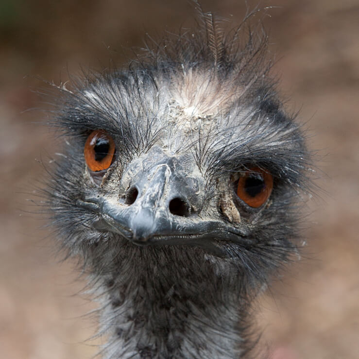 739x739 > Emu Wallpapers