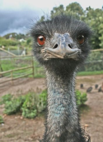 Emu Pics, Animal Collection