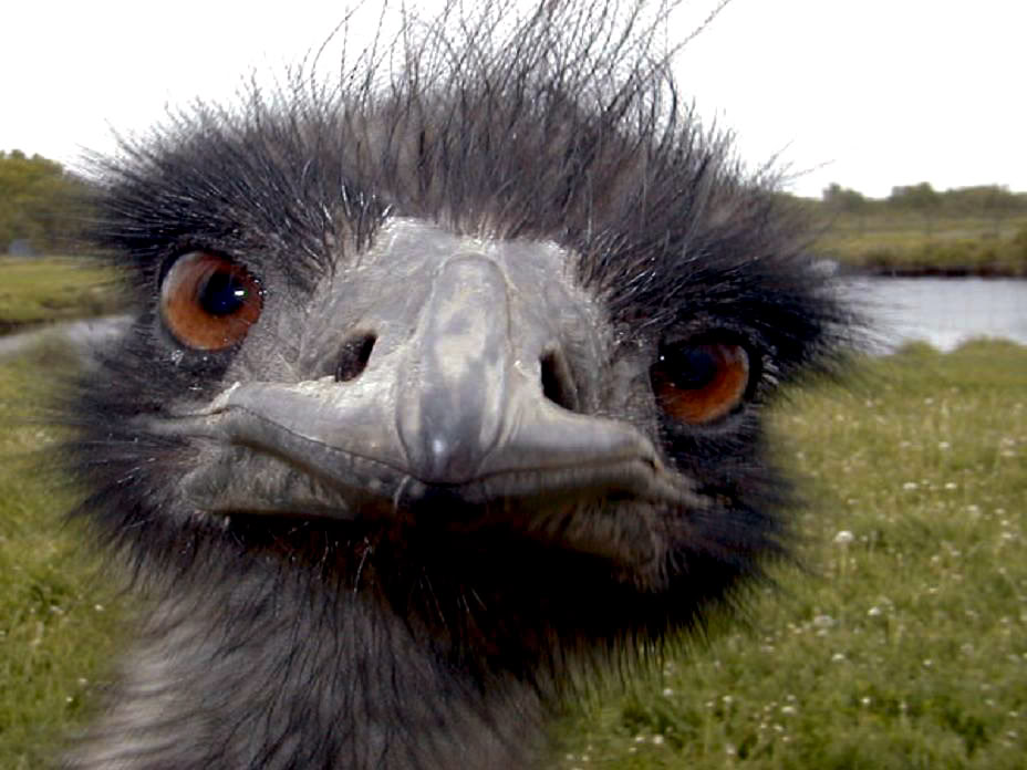 Emu Backgrounds, Compatible - PC, Mobile, Gadgets| 928x696 px
