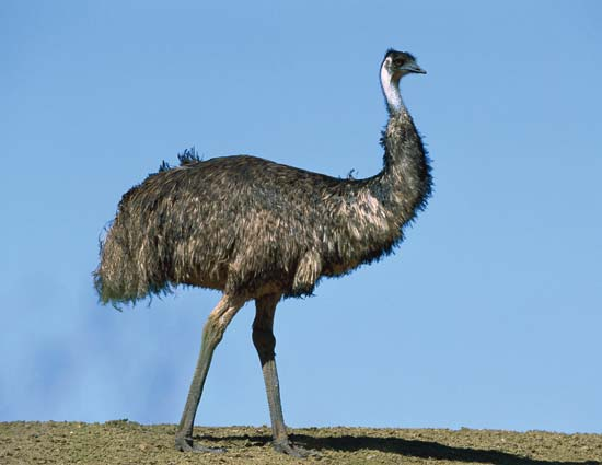 Images of Emu | 550x425