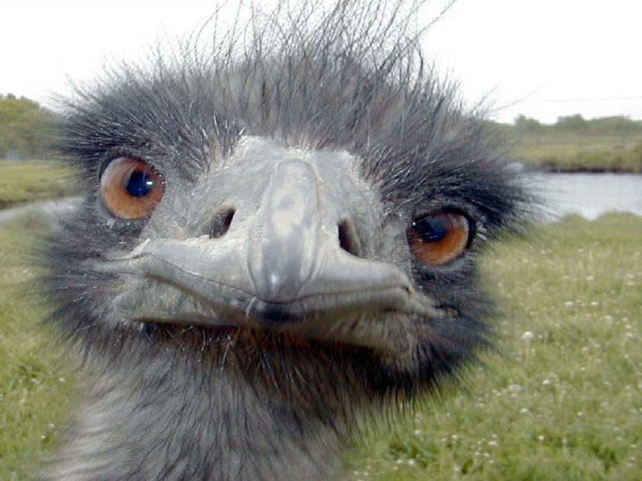 Images of Emu | 928x696