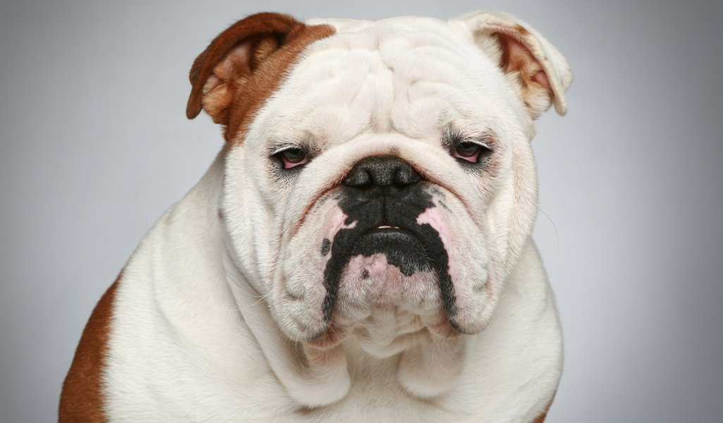 Nice wallpapers English Bulldog 1025x600px