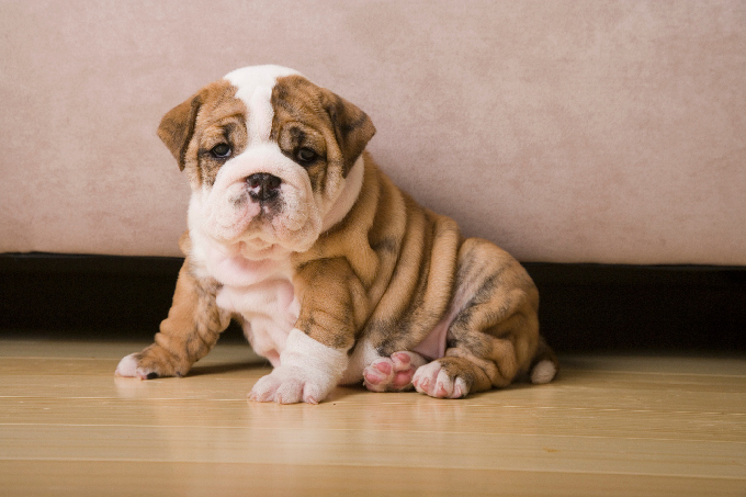 Nice wallpapers English Bulldog 680x453px