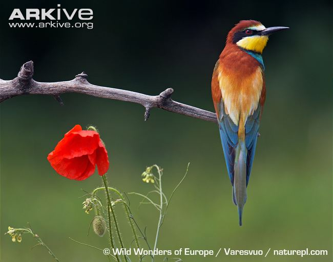 650x513 > European Bee-eater Wallpapers