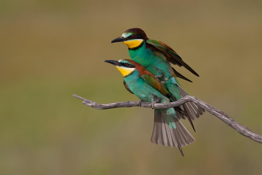 Images of European Bee-eater | 900x600