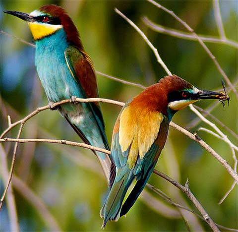 480x468 > European Bee-eater Wallpapers