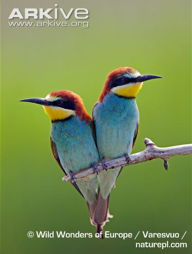 HQ European Bee-eater Wallpapers | File 35.36Kb