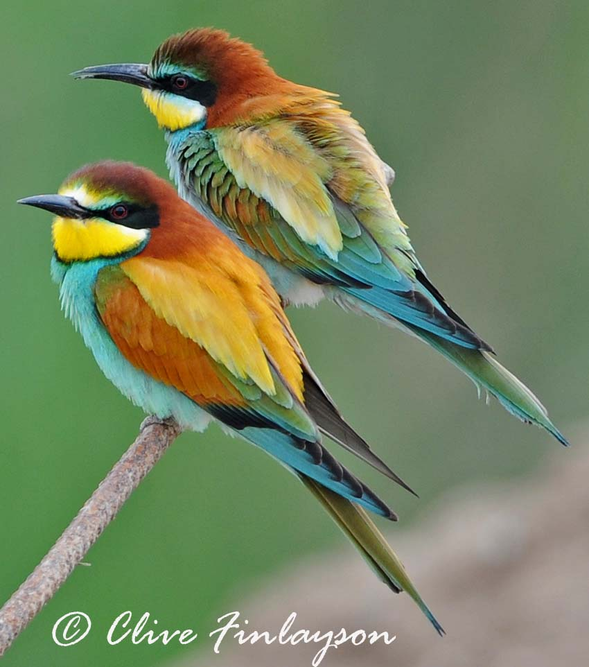 HQ European Bee-eater Wallpapers | File 90.89Kb