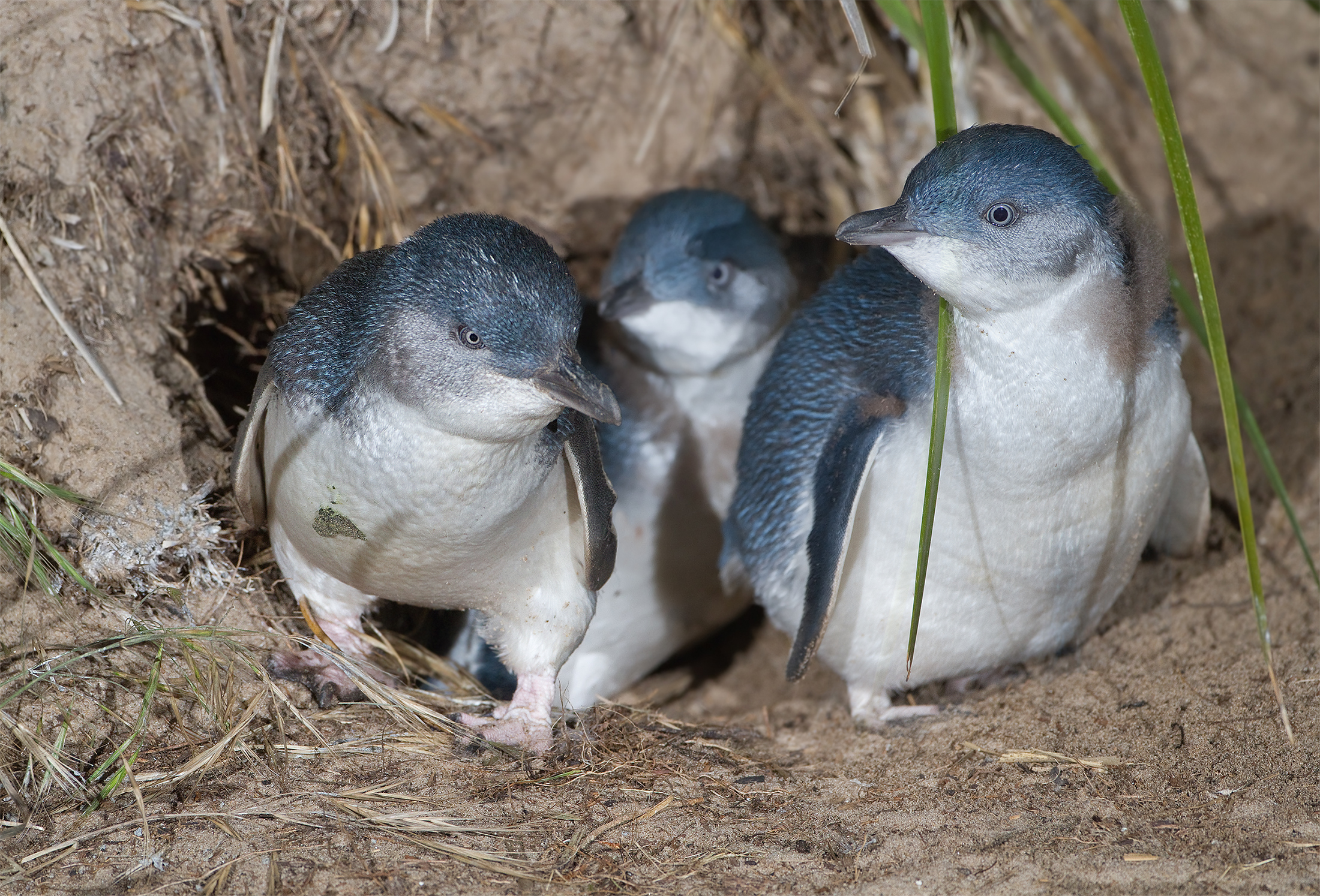 HQ Fairy Penguin Wallpapers | File 2631.72Kb