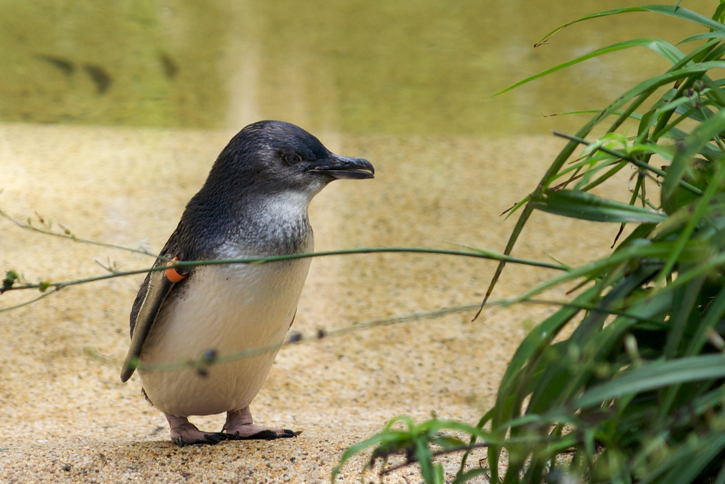 Nice Images Collection: Fairy Penguin Desktop Wallpapers