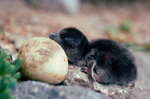 Fairy Penguin Pics, Animal Collection