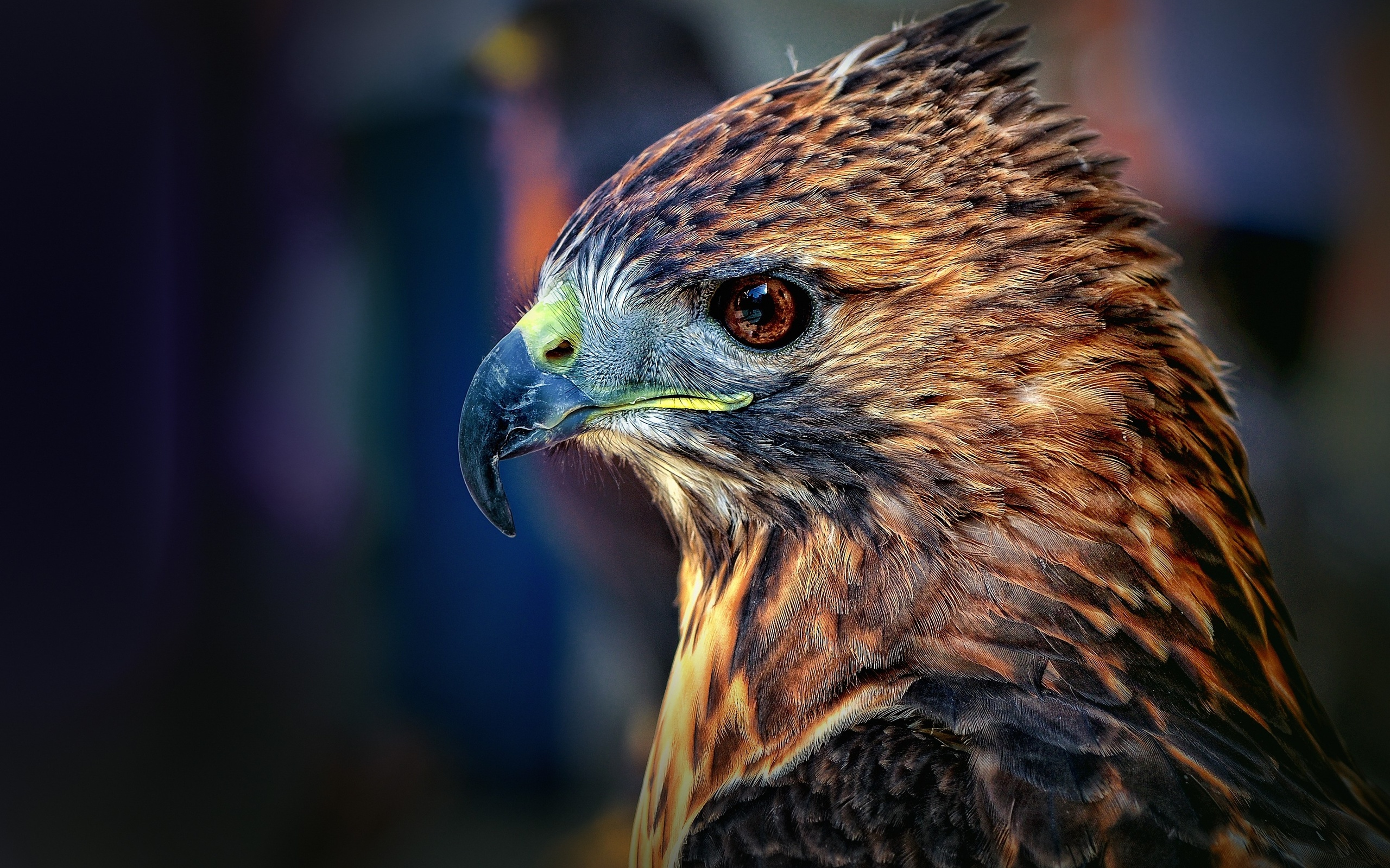 HD Quality Wallpaper | Collection: Animal, 2560x1600 Falcon
