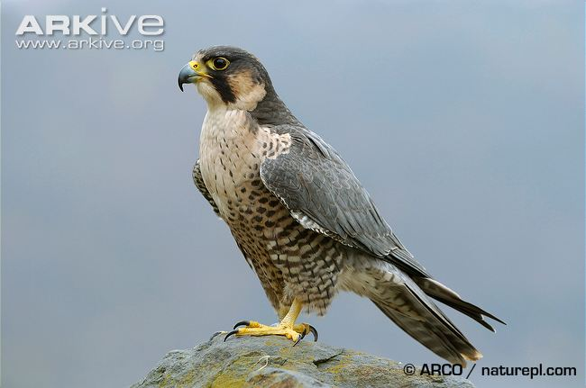 HD Quality Wallpaper | Collection: Animal, 650x431 Falcon