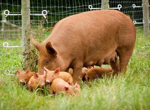 Farm Animals High Quality Background on Wallpapers Vista