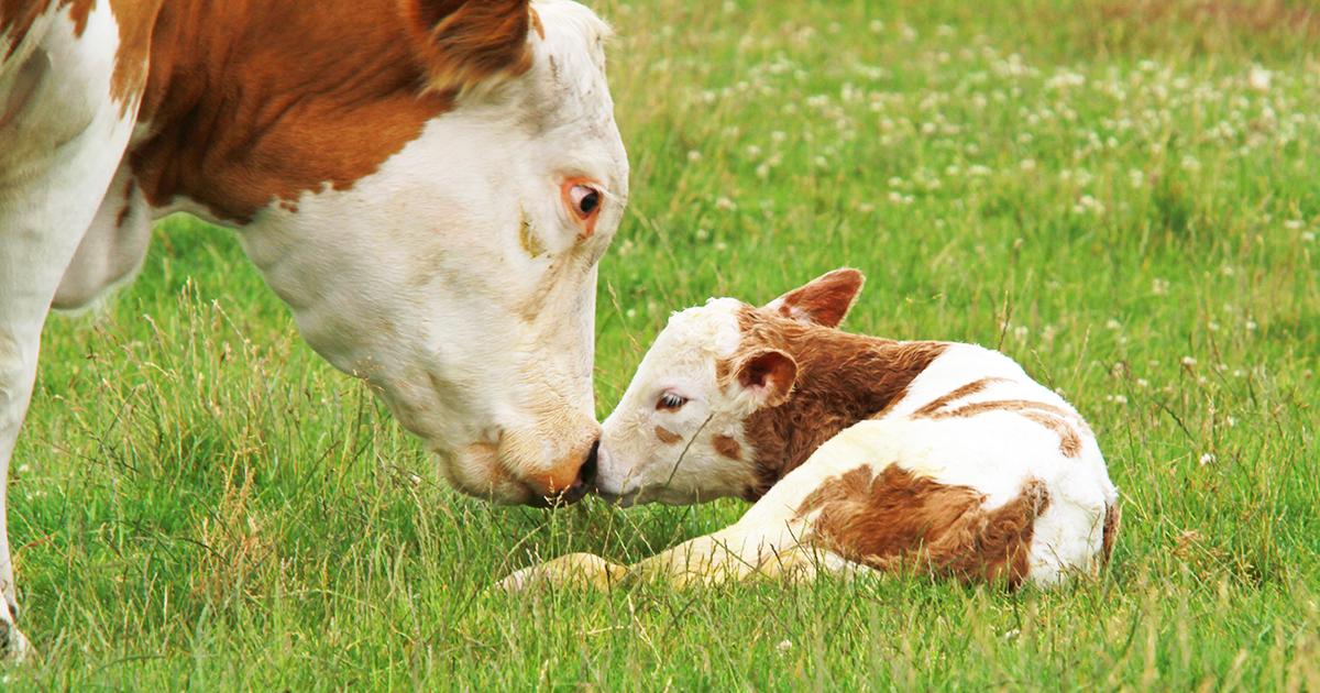 Farm Animals Backgrounds, Compatible - PC, Mobile, Gadgets| 1200x630 px