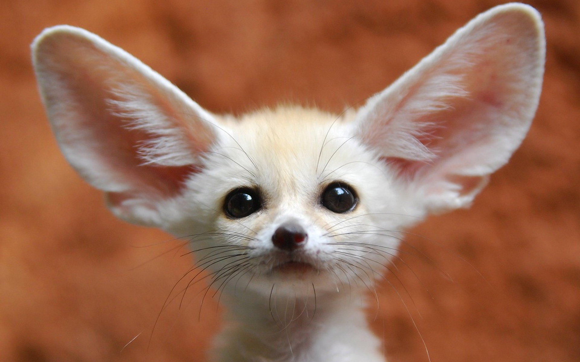 Fennec Fox High Quality Background on Wallpapers Vista