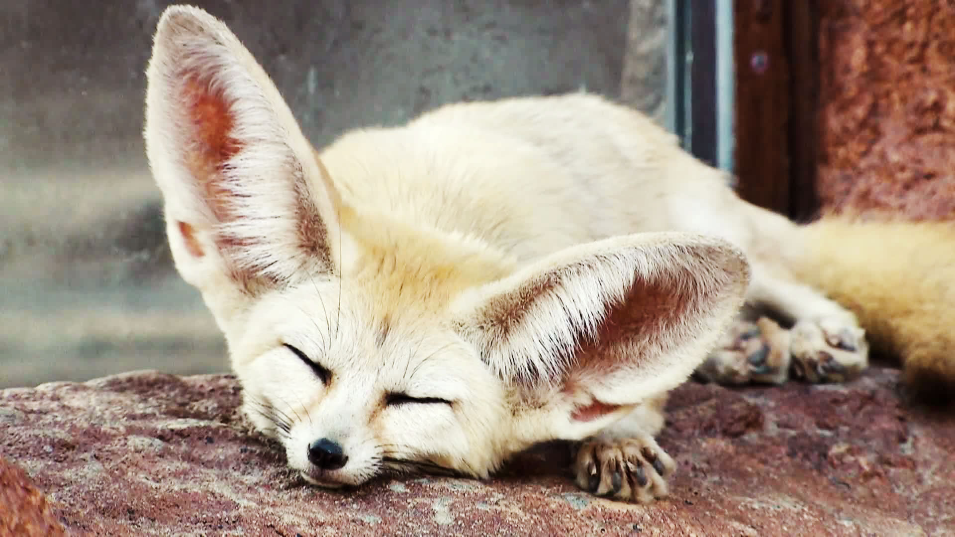 Images of Fennec Fox | 1920x1080