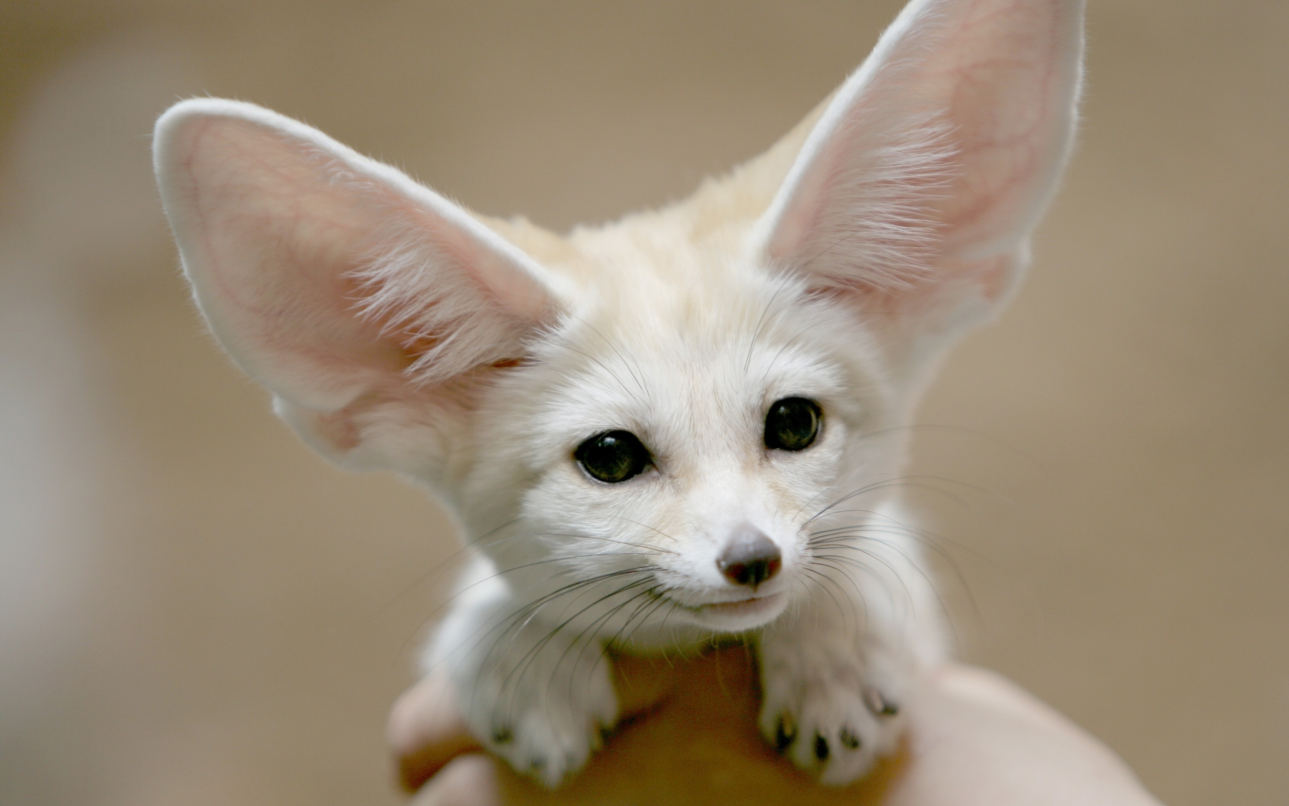 Nice Images Collection: Fennec Fox Desktop Wallpapers