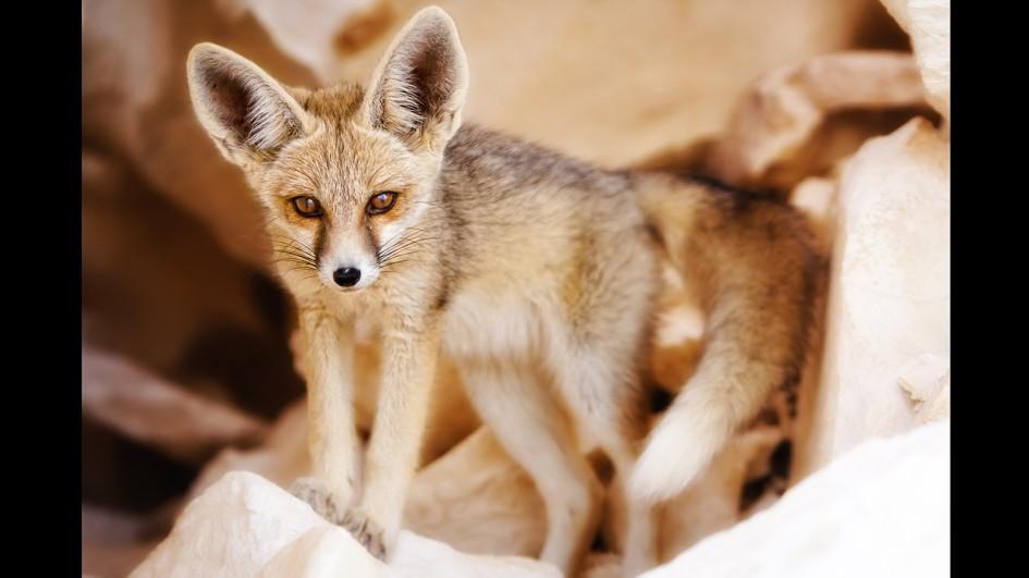 HQ Fennec Fox Wallpapers | File 43.73Kb