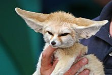 Amazing Fennec Fox Pictures & Backgrounds