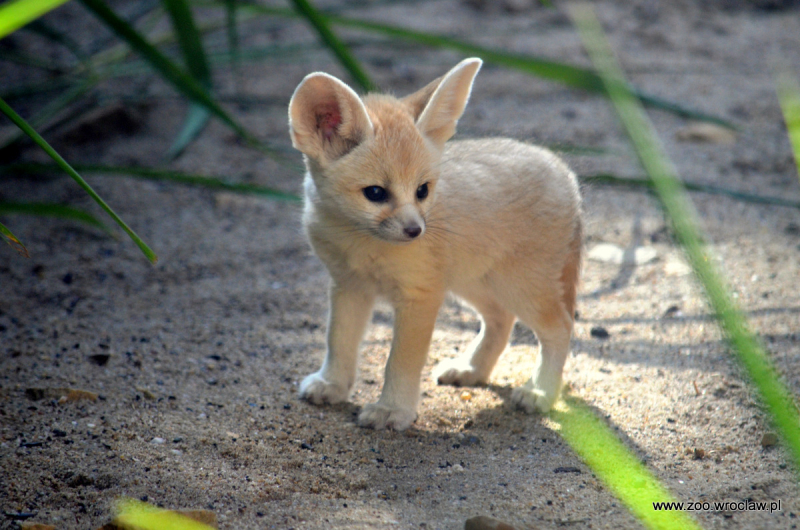 HD Quality Wallpaper | Collection: Animal, 800x530 Fennec Fox