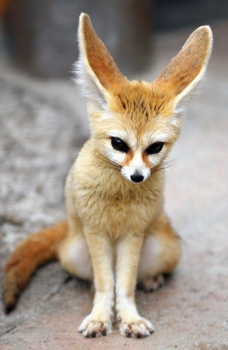 Images of Fennec Fox | 456x700