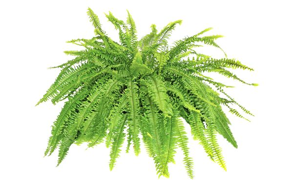 Fern Backgrounds on Wallpapers Vista