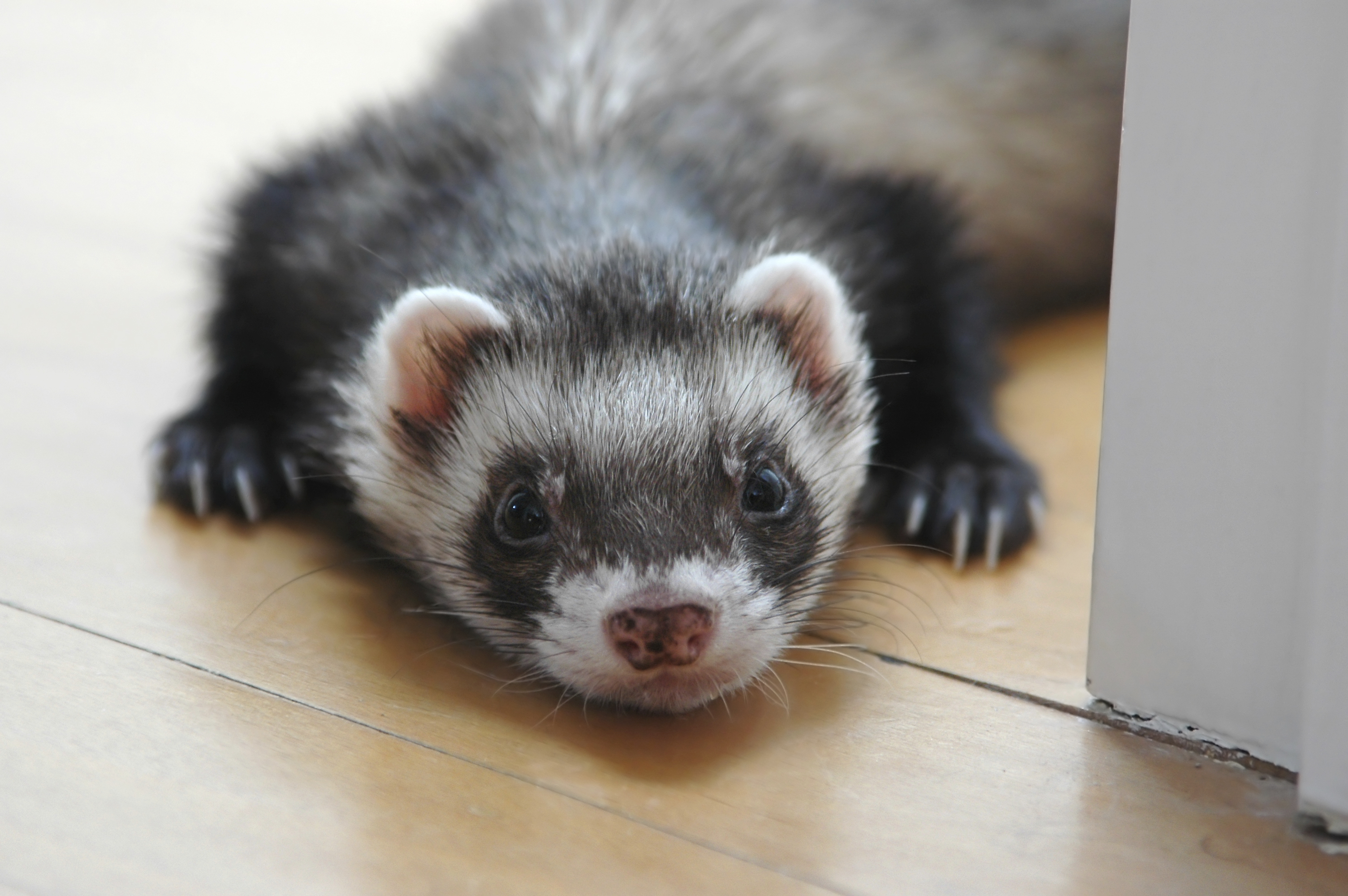 Nice wallpapers Ferret 3008x2000px