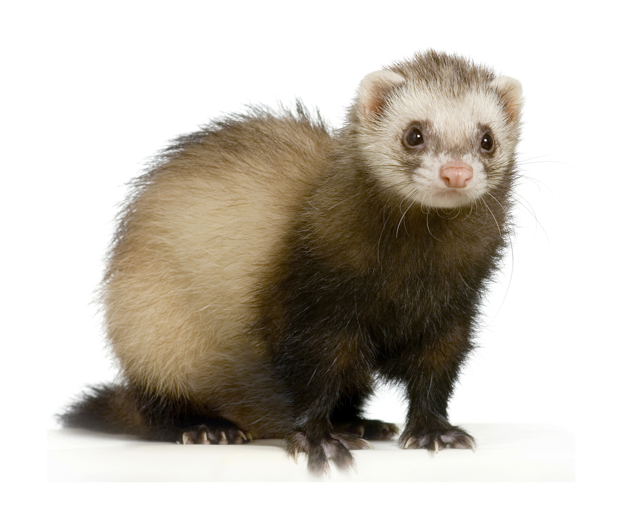 HD Quality Wallpaper | Collection: Animal, 2000x1702 Ferret