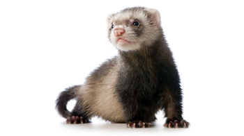 Nice wallpapers Ferret 350x196px