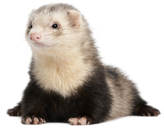 Nice Images Collection: Ferret Desktop Wallpapers