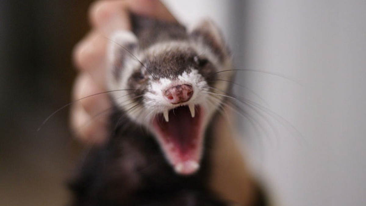 Amazing Ferret Pictures & Backgrounds