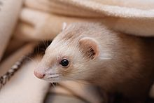 Nice wallpapers Ferret 220x147px