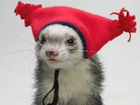 HD Quality Wallpaper | Collection: Animal, 480x360 Ferret