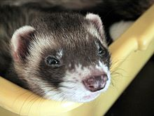 HD Quality Wallpaper | Collection: Animal, 220x165 Ferret