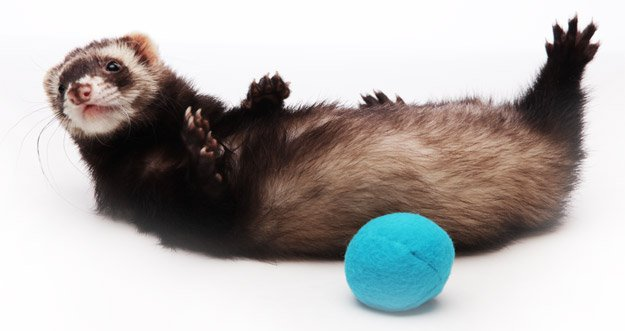 Ferret Backgrounds on Wallpapers Vista