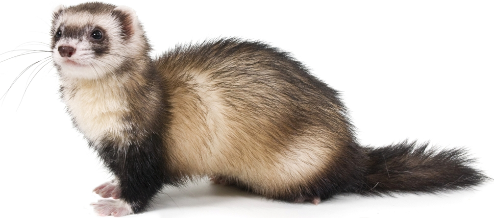 Ferret High Quality Background on Wallpapers Vista