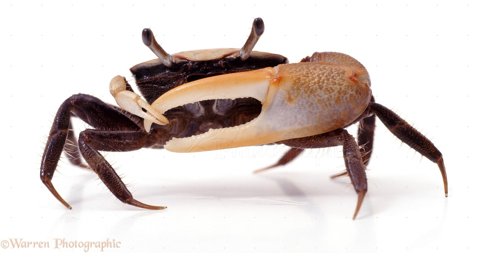 HD Quality Wallpaper | Collection: Animal, 1574x833 Fiddler Crab
