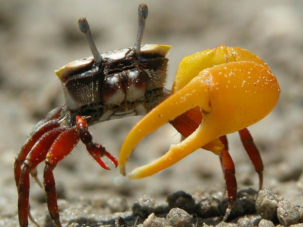 Nice wallpapers Fiddler Crab 1024x768px