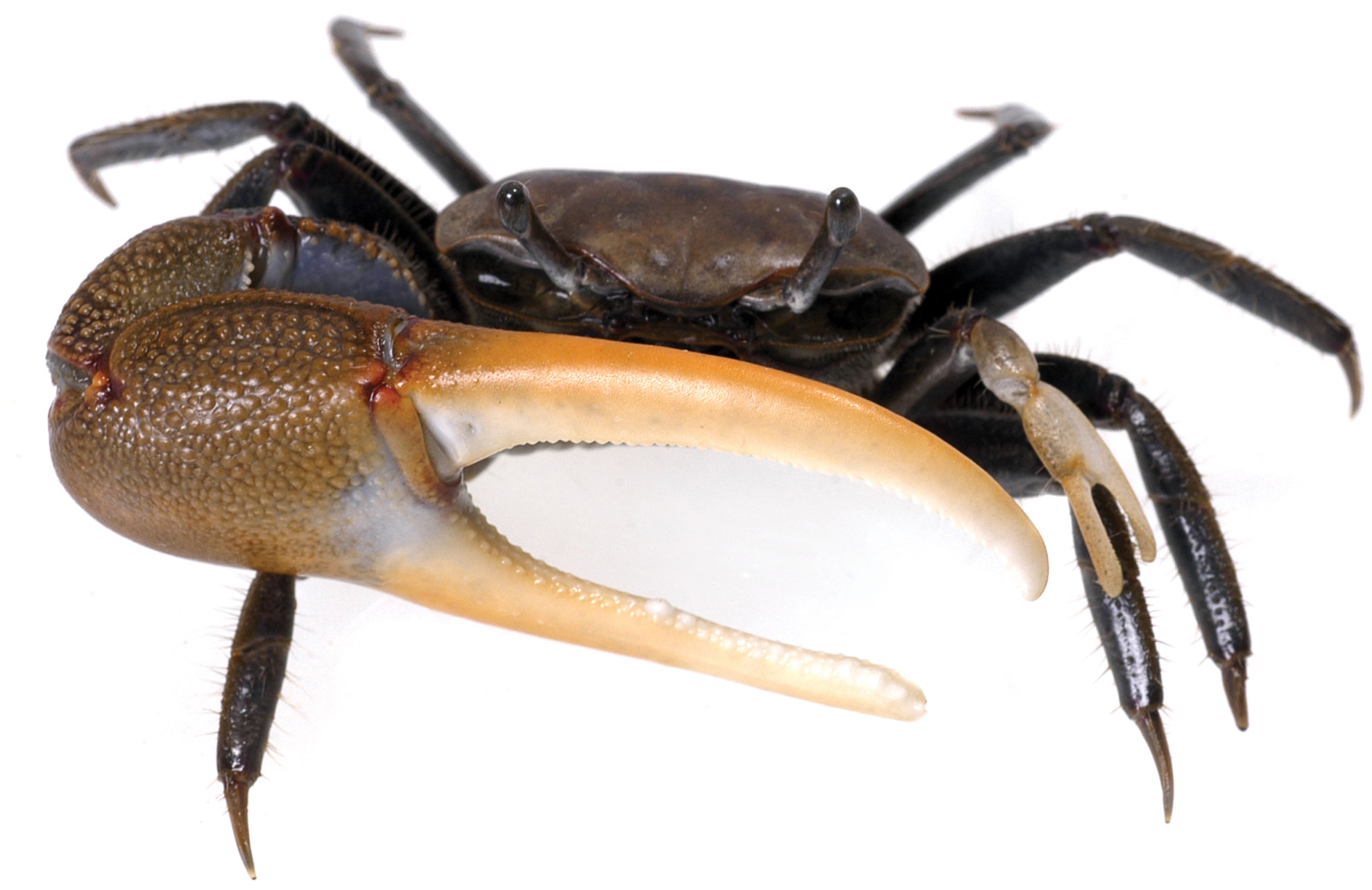 HD Quality Wallpaper | Collection: Animal, 1978x1284 Fiddler Crab