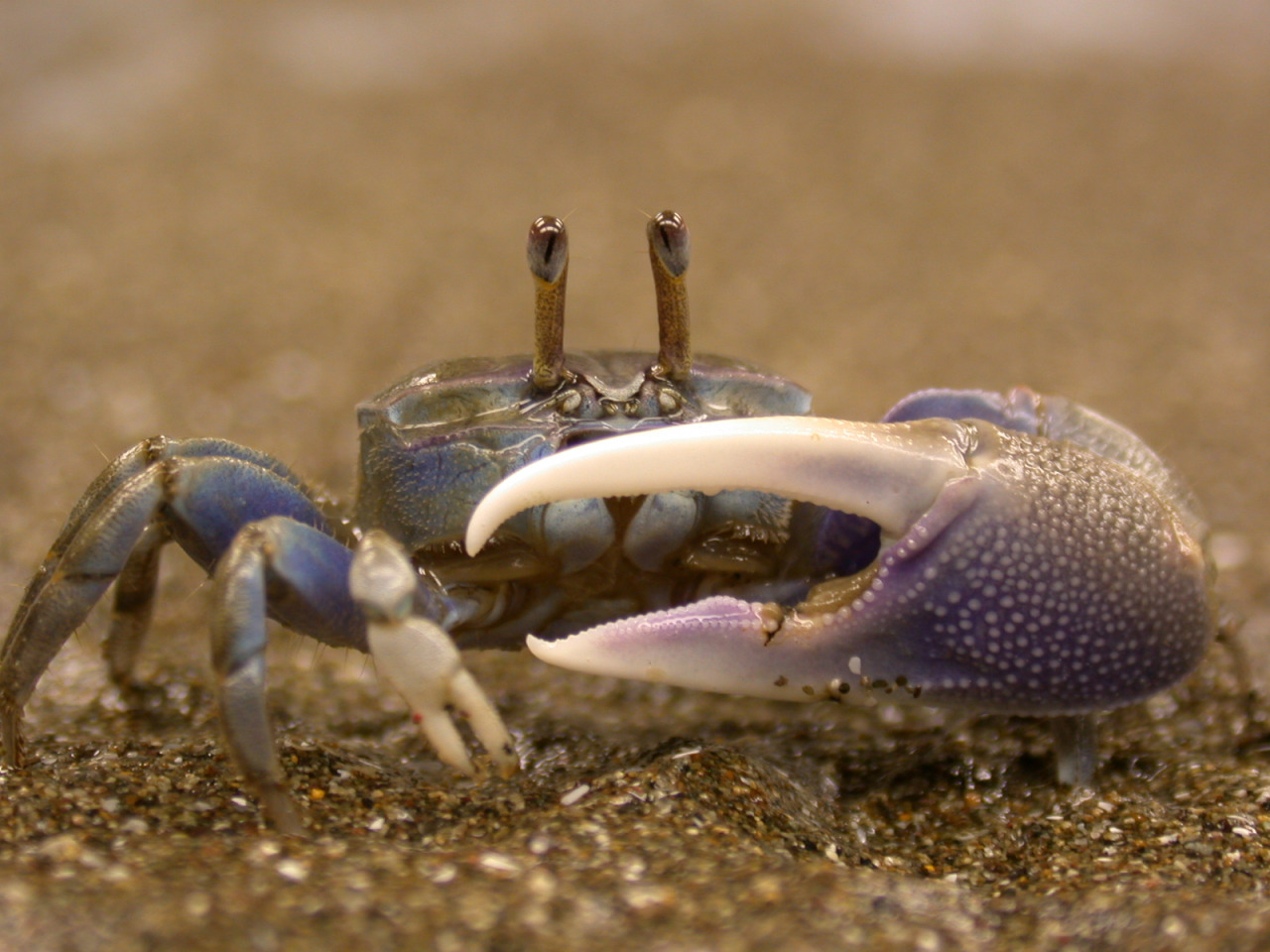 1280x960 > Fiddler Crab Wallpapers