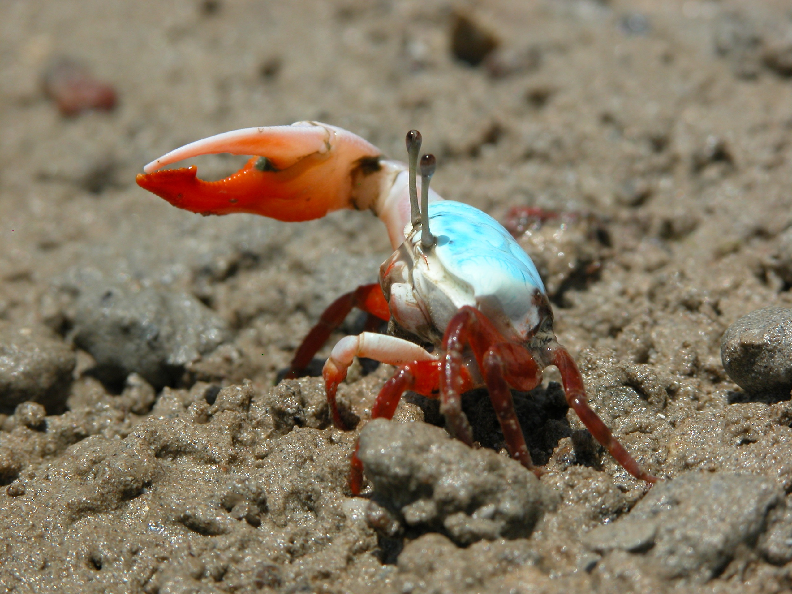 High Resolution Wallpaper | Fiddler Crab 2560x1920 px
