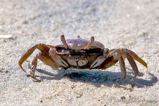 Amazing Fiddler Crab Pictures & Backgrounds